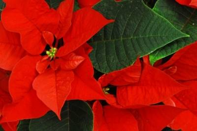 Holiday Flower Namesake